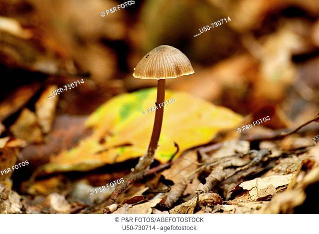 Mushroom, Psathyrella microrrhiza, Coprinaceae, Agaricales, Basidiomycetes