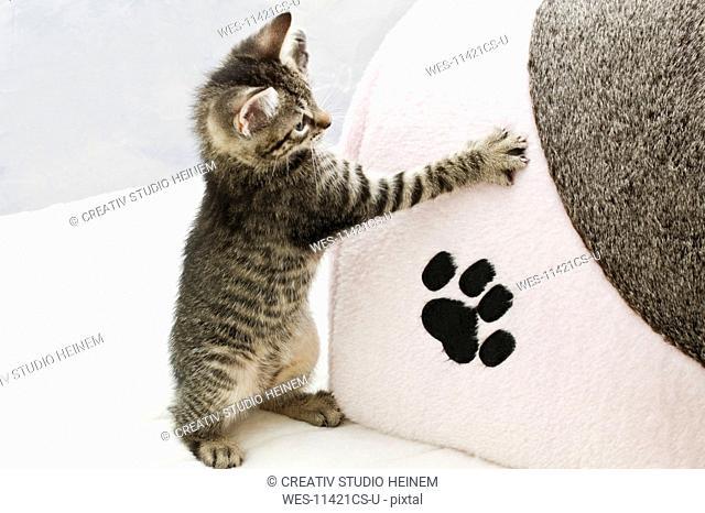 Domestic cat, kitten and kitten's footprint