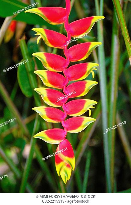 "Heliconia rostrata """"crab claw"""", native to Latin America, photographed in Hawai'i"