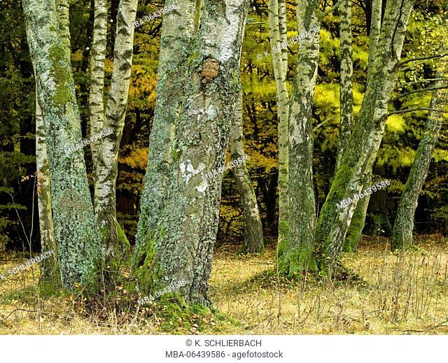 Germany, Bavaria, Rhön Biosphere Reserve, UNESCO biosphere reserve, Schwarze Berge Naturschutzgebiet (nature reserve), birches in the autumnal foliage close...