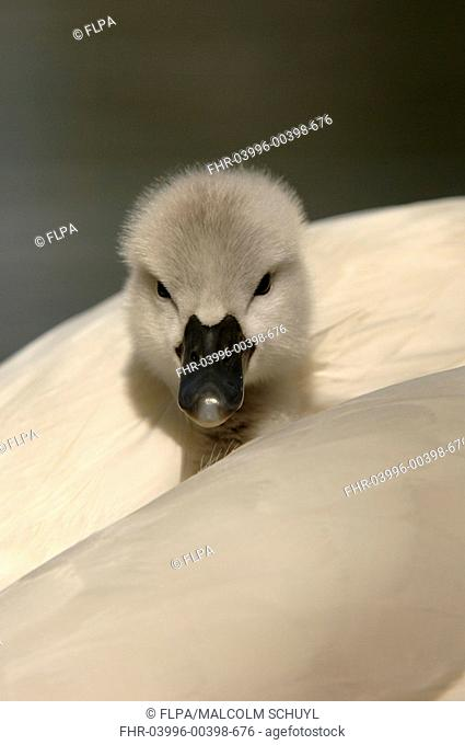 Mute Swan Cygnus olor cygnet, resting on mothers back, Oxfordshire, England