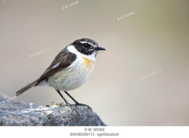 Canary islands chat (Saxicola dacotiae), male sitting on a stone, Canary Islands, Fuerteventura