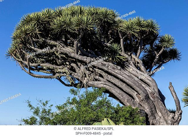 Dracaena draco, the Canary Islands dragon tree or drago. It is a subtropical tree-like plant in the genus Dracaena, native to the Canary Islands