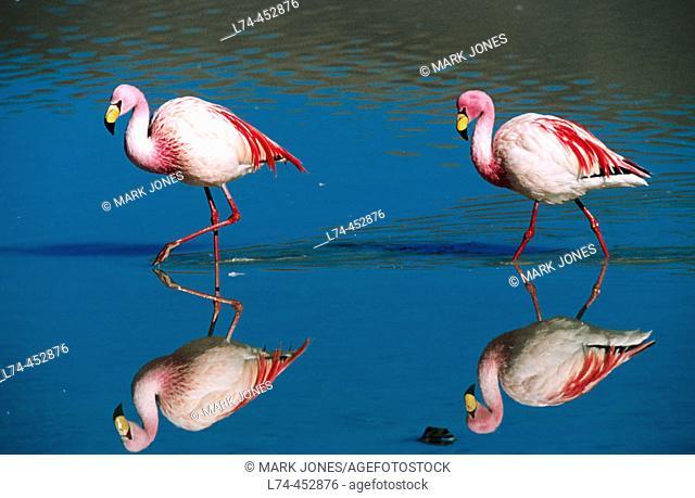 Puna Flamingo (Phoenicoparrus jamesi), rare highly adapted to feed on microscopic diatoms. Laguna Colorada, Bolivia