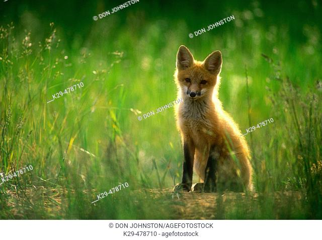 Red fox (Vulpes vulpes) kid sitting quietly in long grass near den entrance. Killarney. Ontario. Canada