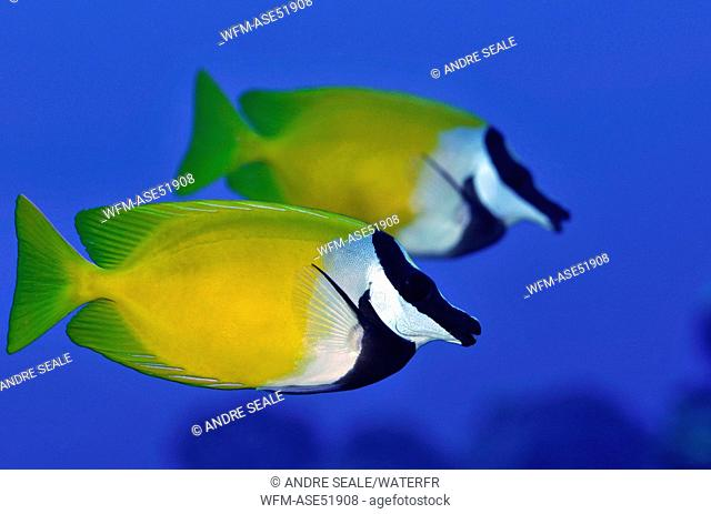 Pair of Foxface Rabbitfish, Siganus vulpinus, Pohnpei, Caroline Islands, Micronesia