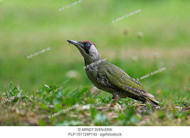 European green woodpecker (Picus viridis) female searching for ants in garden lawn