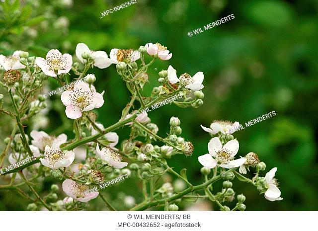Shrubby Blackberry (Rubus fruticosus) flowering, Netherlands