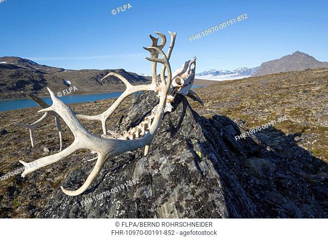 Svalbard Reindeer (Rangifer tarandus platyrhynchus) skull, on rock in tundra, Signehamna, Spitsbergen, Svalbard, August
