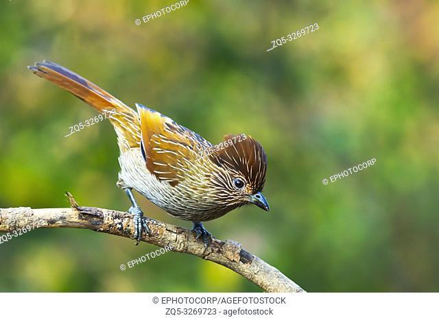 Striated laughingthrush, Garrulax striatus, Sattal, Nainital Uttarakhand, India