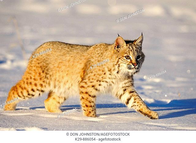 Bobcat Felis rufus- captive  Baby, first winter