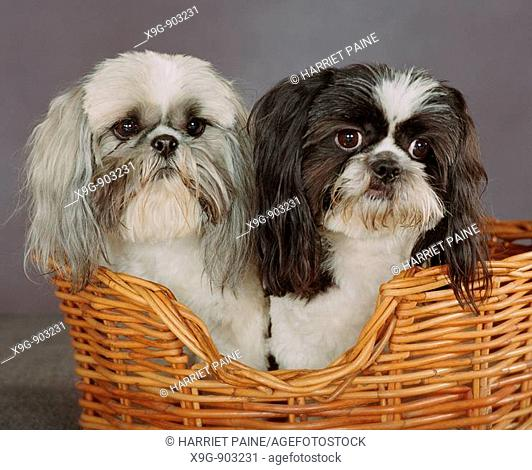 Two Shih Tzu in basket