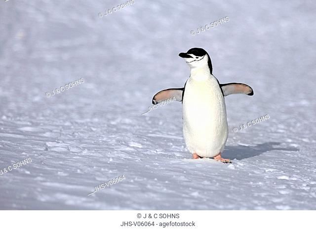 Chinstrap Penguin, (Pygoscelis antarctica), Antarctica, Brown Bluff, adult in snow spreads wings