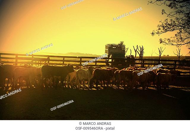 cattle on the field in teh sunset