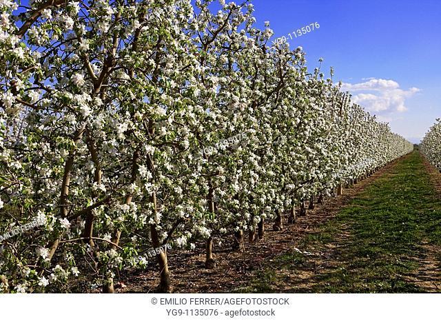 Apple Trees with Flowers  LLeida, Spain