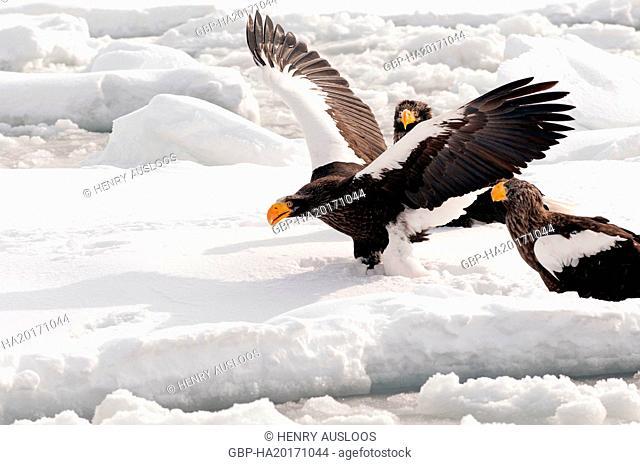 Steller's sea eagle, Haliaeetus pelagicus, (Pygargue de Steller) Russia, 2017