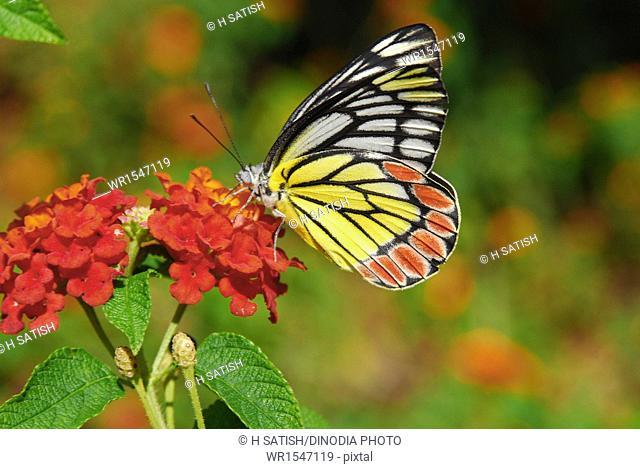 Common Jezebel Butterfly park Bannerghatta Bangalore Karnataka India Asia