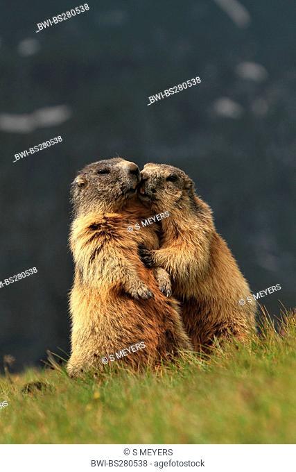 alpine marmot Marmota marmota, two marmots cuddling, Austria, Grossglockner