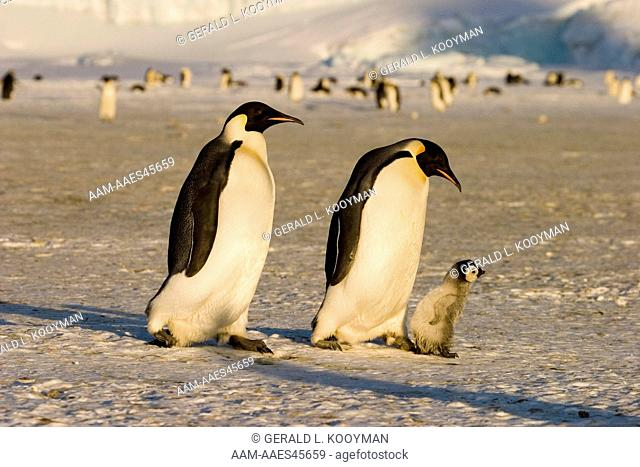 Emperor Penguin (Aptenodytes forsteri) adults with early chick, Western Ross Sea colony, Anarctica
