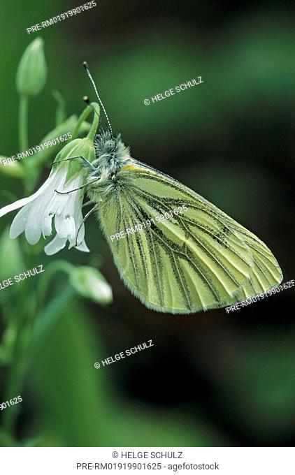 Green-veined White and Greater Stitchwort, Pieris napi, Stellaria holostea