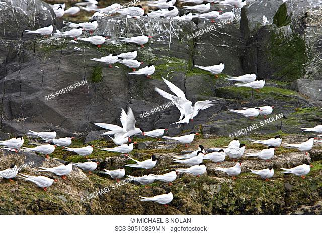 Adult South American Tern Sterna hirundinacea at breeding colony on offshore islets in the Beagle Channel, South America This is a species of tern in the...