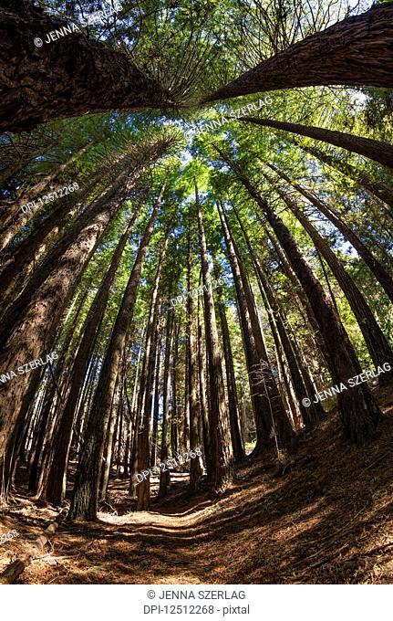 Tall Redwood trees at 6,000 feet elevation, Poli Poli State Park; Kula, Maui, Hawaii, United States of America