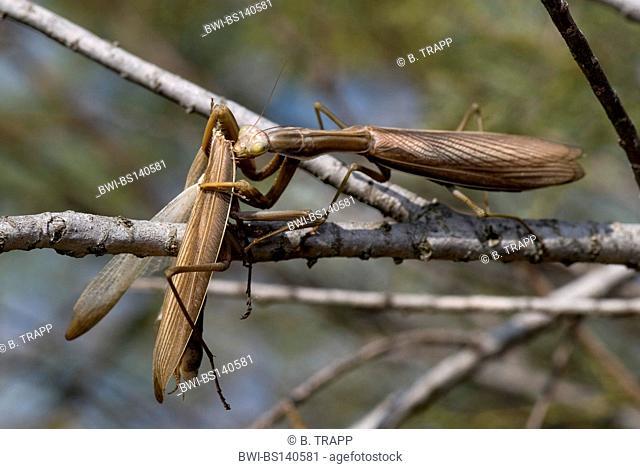 European preying mantis (Mantis religiosa), cannibalism, Greece, Peloponnese, Messinien, Pylos