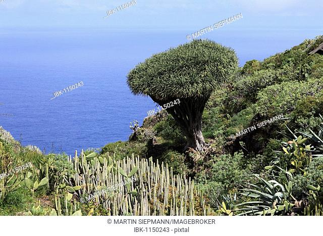 Canary Islands Dragon Tree (Dracaena draco) and other scrub vegetation, El Palmar, La Palma, Canary Islands, Spain, Europe