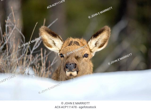 Elk calf peering over a snow drift in Jasper Natoinal Park, Alberta, Canada