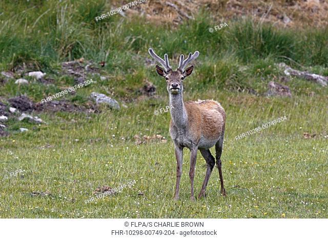 Red Deer Cervus elaphus young stag, with antlers in 'velvet', standing, Jura, Inner Hebrides, Scotland, june