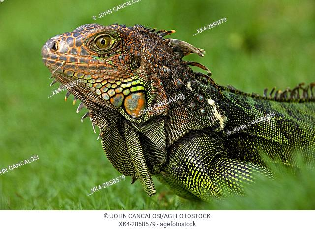 Green iguana, Iguana iguana, Costa Rica