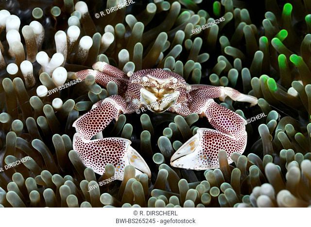 porcelain crab (Neopetrolisthes maculatus), Porcelain Crab in Anemone, Indonesia, Bali, Alam Batu