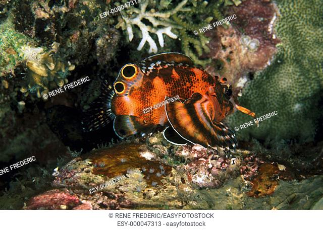 Twospot Turkeyfish (Dendrochirus biocellatus). Papua New Guinea