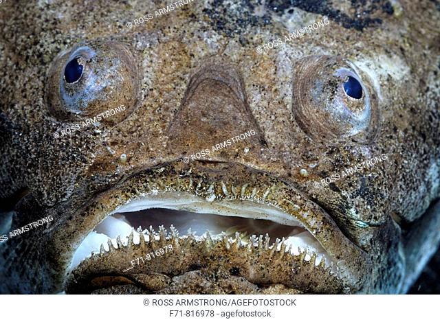Whitemargin Stargazer (Uranoscopus sulphureus). Lembeh Strait, Celebes Sea, North Sulawesi, Indonesia