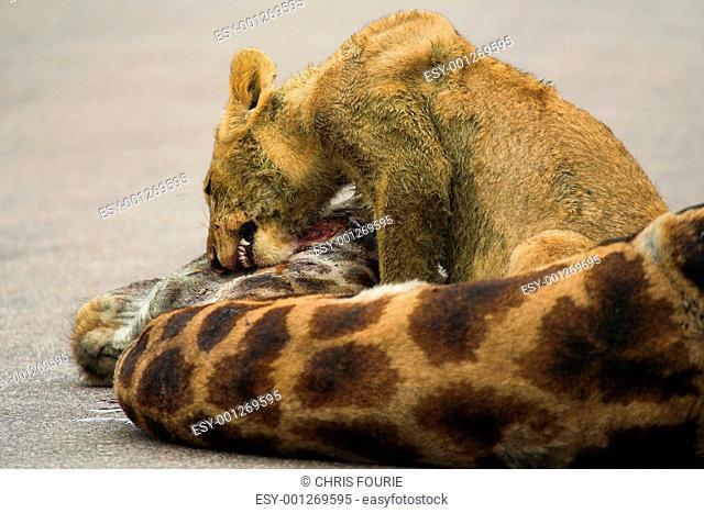 Cub Feeding