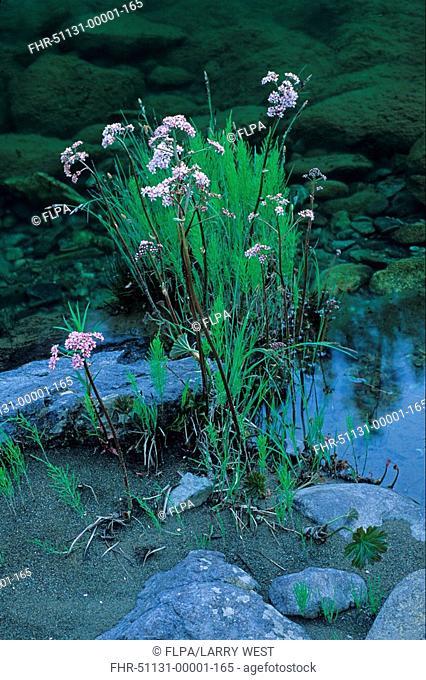 Umbrella Plant Peltiphyllum peltatum flowering, in damp soil close to water, Oregon, U S A , may