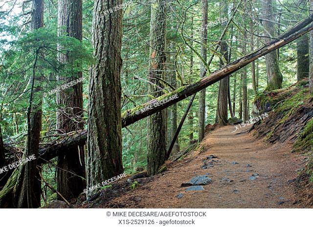 A narrow hiking trail leads through a rarely seen Old Growth forest called the Grove of the Patriarchs in Mt. Rainier National Park, in Washington