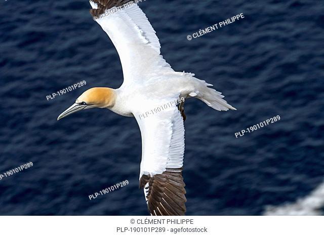Northern gannet (Morus bassanus) in flight soaring over the ocean along the Scottish coast, Scotland, UK