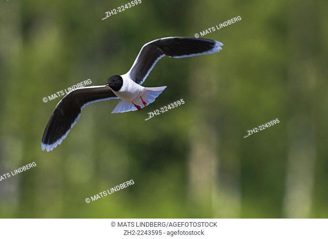 Little gull, Larus minutus flying