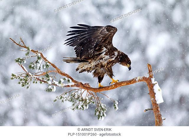 White-tailed Eagle / Sea Eagle / Erne (Haliaeetus albicilla) juvenile perched in spruce tree in the snow in winter