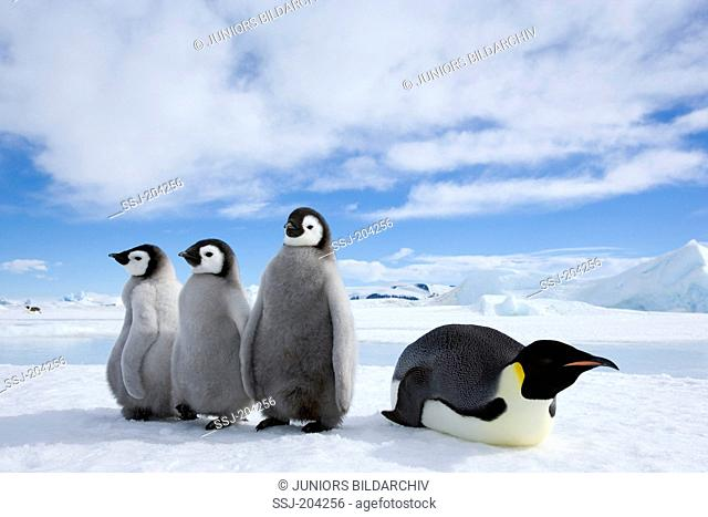 Emperor Penguin (Aptenodytes forsteri). Adult bird with three chicks on ice. Snow Hill Island, Antarctica