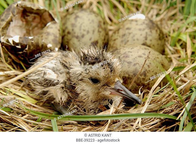 Curlew (Numenius Arquata) chick just hatched