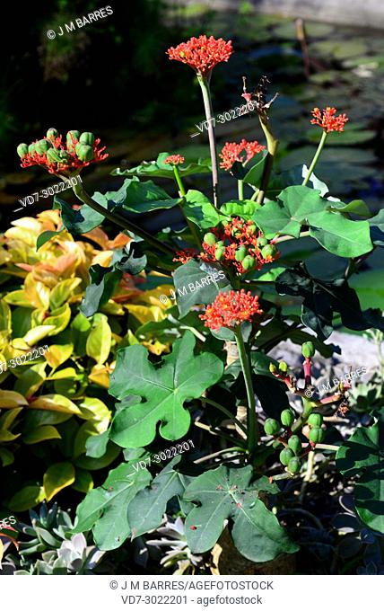 Bottleplant shrub or Buda belly plant (Jatropha podagrica) is a ornamental poisonous shrub native to tropical America
