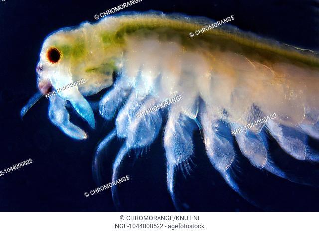 Micro photo of Artemia Salina