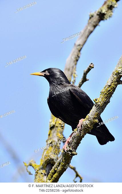 Black Starling Sturnus unicolor