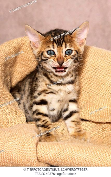 sitting Bengal Kitten