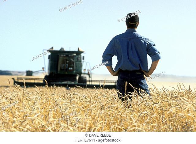 Farmer in Wheat Field during Harvest, Tiger Hills, Manitoba