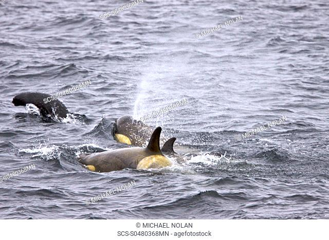 A small pod of about 12 Type B Orca Orcinus nanus encountered in Southern Gerlache Strait near the western side of the Antarctic Peninsula