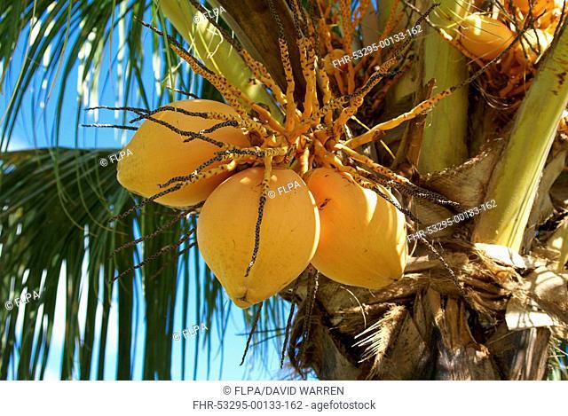 Coconut Palm (Cocos nucifera) close-up of fruit on tree, Grenada, Grenadines, Windward Islands, Lesser Antilles, August
