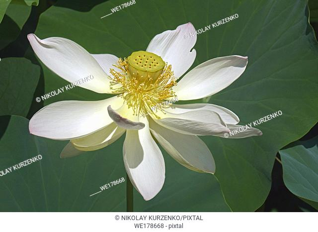 Sacred lotus (Nelumbo nucifera). Known also as Indian Lotus, Bean of India and Lotus